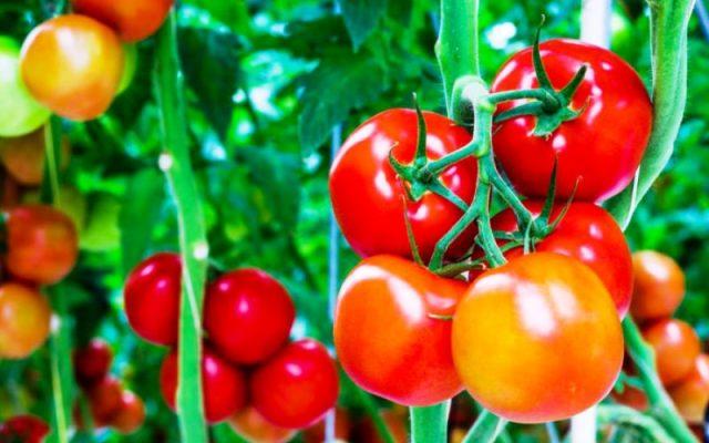 Manfaat Utama Tomat Untuk Kesehatan