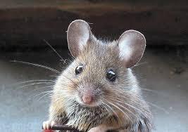 Jenis Tikus Yang Biasa Kita Jumpai